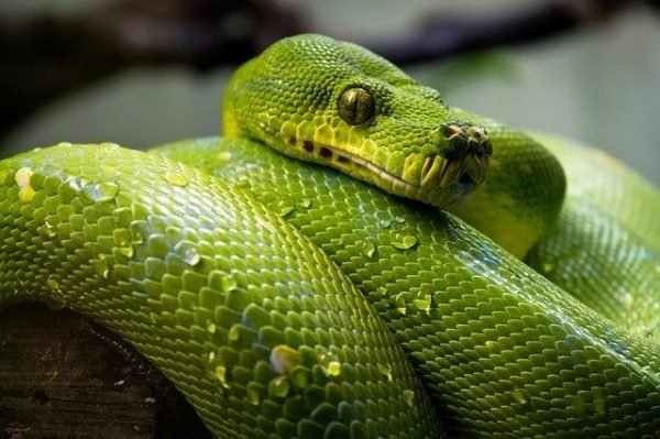 Can Snakes flourish on a vegetarian diet?
